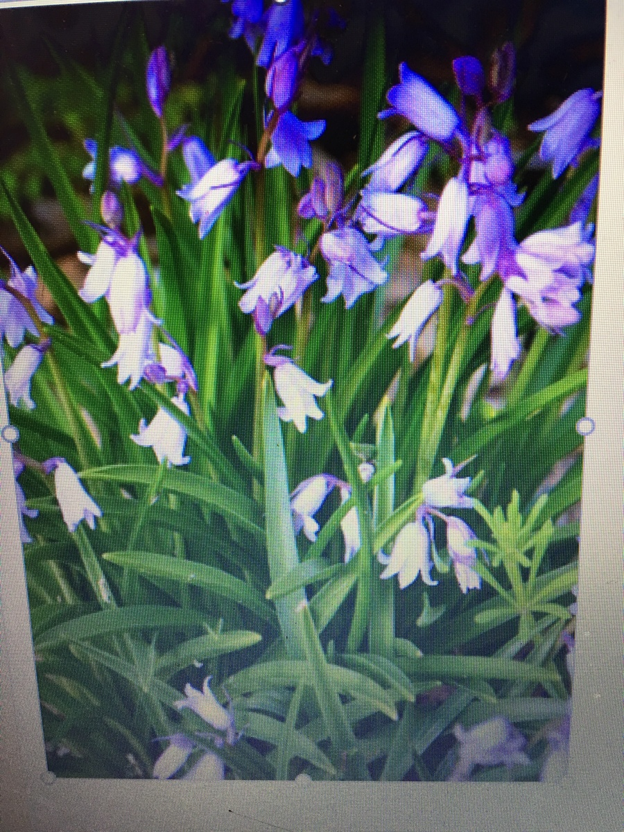 Purple Bell Flower Comes Up In Spring Flowers Forums