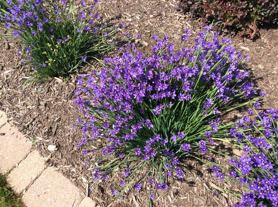 This perennial has grass blade leaves with tiny purple 6 leaf this perennial has grass blade leaves with tiny purple 6 leaf flowers with guest 3 years ago mightylinksfo