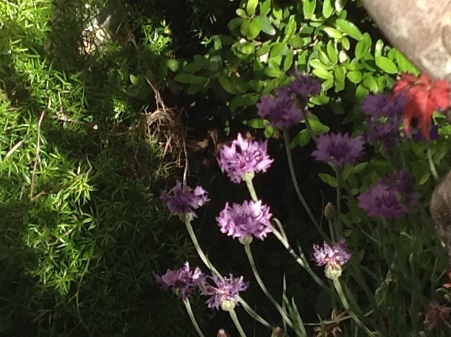 We Are Growing These Wildflowers In Our Backyard In Houston, But Donu0027t  Know... | Flowers Forums