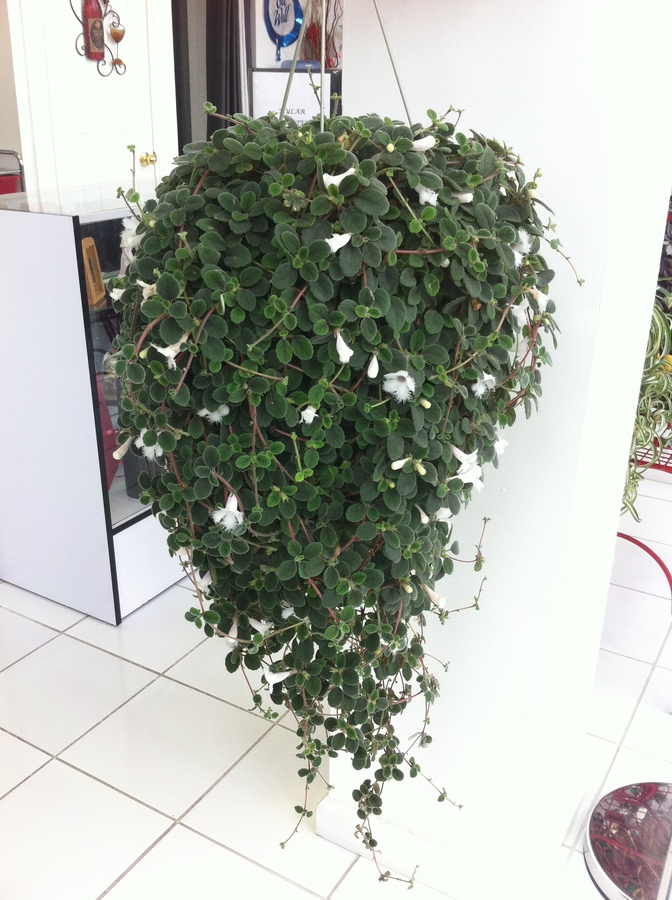 What Is The Name Of Hanging Plant With Clothlike White