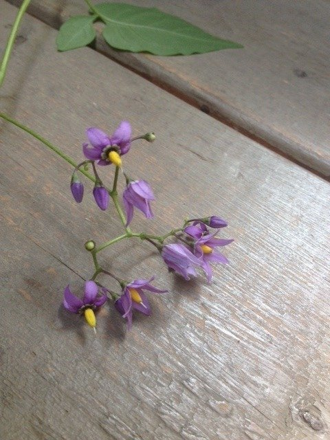 Can you help me identify this vine small purple star shaped 5 can you help me identify this vine small purple star shaped 5 petal with guest 5 years ago mightylinksfo
