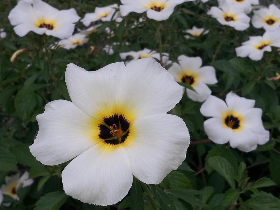 White flower with 5 petals with black and yellow center is this a this might interest you mightylinksfo