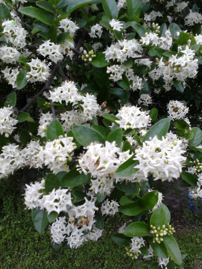 Outstanding bush with little white flowers photos best evening bush with small white bell shaped flowers images flower decoration mightylinksfo