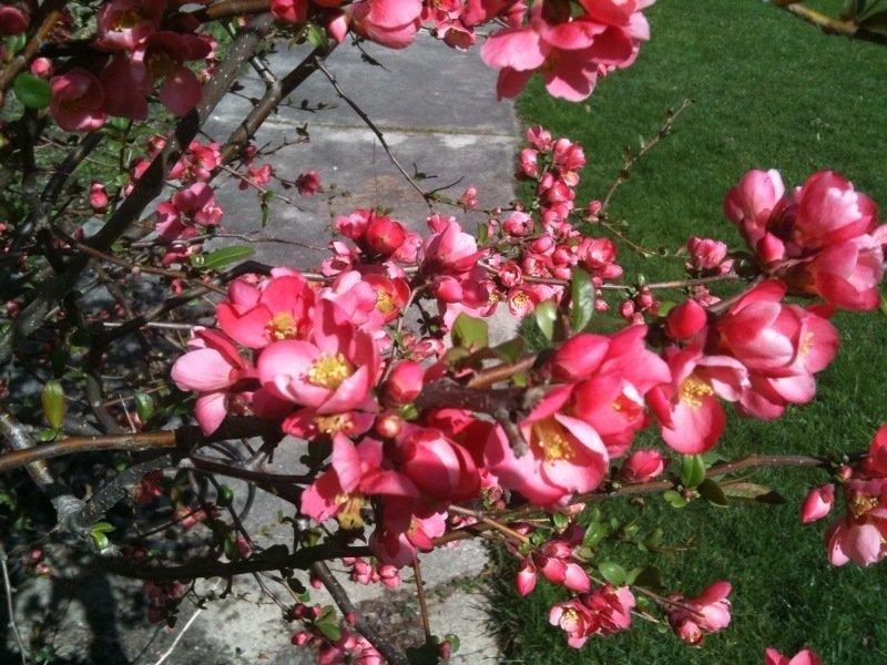 Pinkish Flowering Bush In My Backyard Flowers Forums