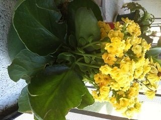 Clusters of tiny yellow flowers with pointed petals large green the flowers are about 12 across at the base of the plant are very large dark green leaves up to 4 long whose edges curl upwards a bit thanks mightylinksfo