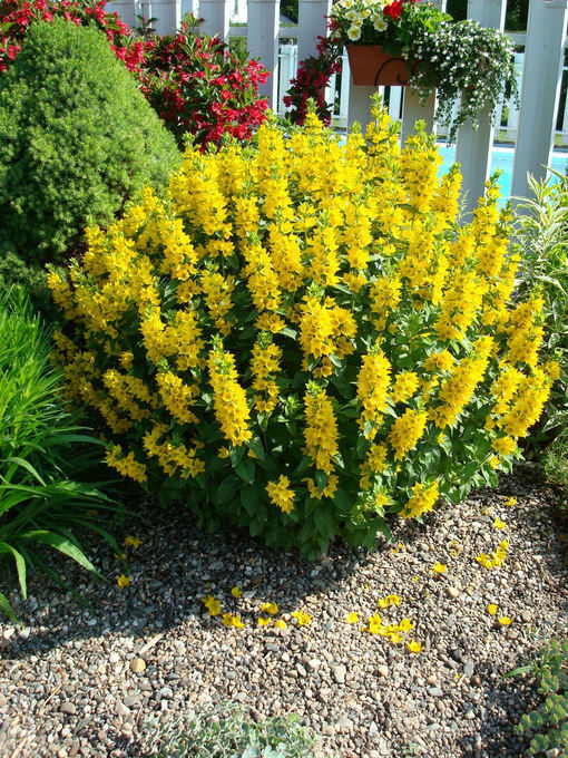 Shrubs Flowers Forums